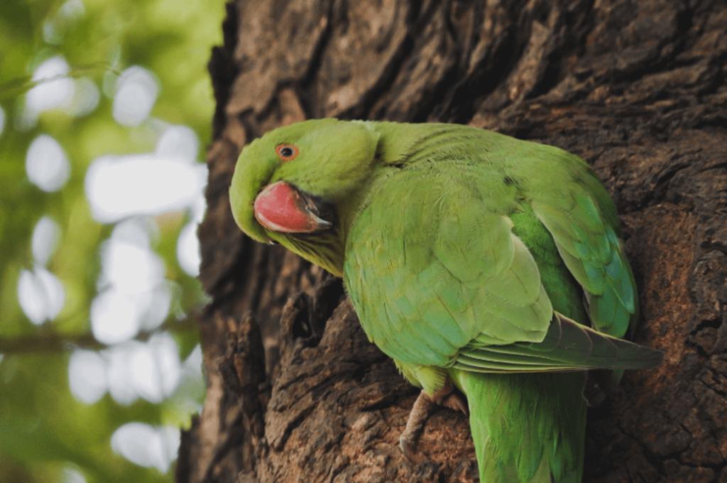 Parakeets live in Sima de las Cotorras near Tuxtla Gutiérrez.