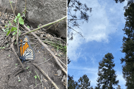 Monarch Butterfly Reserve is a must-visit place near Mexico City.