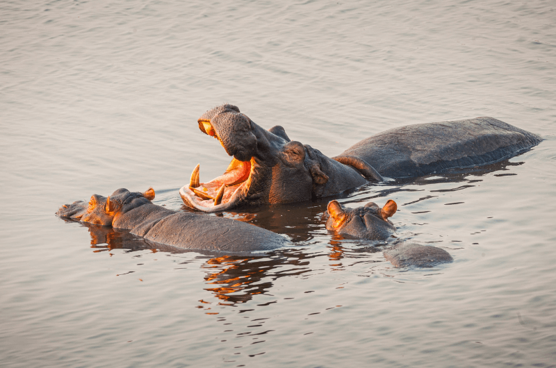 Hippos in the water, safari cruises in South Africa