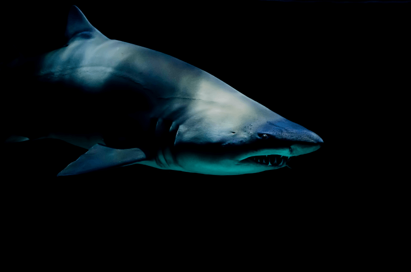 Great white shark in the shadows.