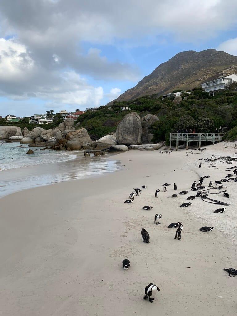 Penguin colony at Boulder Beach